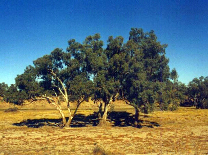 The place where Howitt found Wills, Cooper Creek, South Australia.